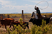 Zapata Ranch is a working ranch where tourists can stay and work, branding of cattle, Alamosa, Alamosa County, Colorado, USA, North America, America