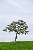 Deciduous tree in meadow, Berg, Upper Bavaria, Germany