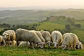 Sheep in idyllic hilly landscape, Tuscany, Italy, Europe