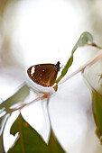 Brown butterfly, northcoast of Magnetic island, Great Barrier Reef Marine Park, UNESCO World Heritage Site, Queensland, Australia