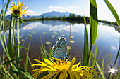 Silver studded Blue (Plebejus argus) on yellow flower near a pond, Kochelsee-Moos, Alpine foothills, Upper Bavaria, Germany