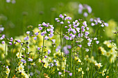 Flower meadow with lady's smock (Cardamine pratensis) and oxlips (Primula elatior), Upper Bavaria, Germany