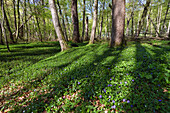 Lesser periwinkle (Vinca minor) in a deciduous forest, Upper Bavaria, Germany