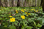 Yellow anemone (Anemone ranunculoides) in deciduous forest, Upper Bavaria, Germany