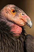 California Condor (Gymnogyps californianus), captive, California, USA - IUCN designated endangered species