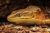 Southern Alligator Lizard (Elgaria multicarinata), close-up of head. Oregon, USA