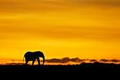 Lonely male african elephant Loxodonta africana walking on sunrise horizon Masai Mara national park, Kenya