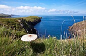 A Parasol mushroom growing along the pembrokeshire coastal path in west Wales, Uk
