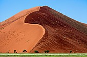 Camelthorn tree Acacia erioloba, and the dune at the back after rain, Namib-Naukluft National Park, Namib desert, Namibia
