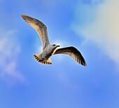 Juvenile herring gull Larus argentatus soaring in blue sky