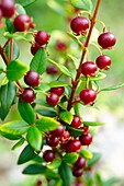 Ugni molinae Also known as Little Myrtle, Tazziberry or New Zealand cranberry Chilean superfood anti oxidant