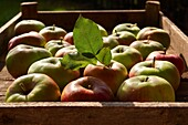 apple, autumn, eatable, eating, food, fresh, fruit, harvest, harvesting, healthy, horizontal, natural, nourishment, nutrition, organic, outdoor, pick, produce, ripe, YL2-1202734, AGEFOTOSTOCK