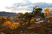Rocky landscape with some birch trees and pines north of the arctic circle at sunset, Saltdal, Junkerdal national park, trekking tour in Autumn, Fjell, Lonsdal, near to Mo i Rana, Nordland, Norway, Scandinavia, Europe