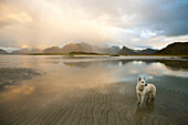 White German Shepherd standing in the water at sunset, coastal landscape on the Lofoten islands, Autumn, Fredvang, Flagstadoy, Lofoten, Nordland, Norway, Scandinavia, Europe