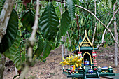 Small Buddhist Altar Coffee Tree Plantation Meant to Thank Buddha For Protecting the Crops and Favouring the Harvest, Thailand, Asia