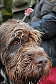 A Wet Gun Dog (Wirehaired Pointing Griffon Or Korthals Griffon), Hunting in a Private Forest near the Marquenterre Park, Somme (80), France