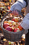 Gathering Apples and Mushrooms, Autumn Fruits and Vegetables