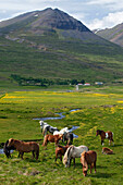 Icelandic Horses in a Meadow, Iceland, Europe