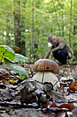 Gathering Mushrooms, Small Cep (Porcini) Or Boletus Mushroom Also Called Champagne Cork in French, Senonches Forest, Eure-Et-Loir (28), France
