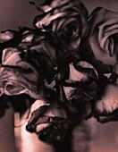 Roses, close-up, b&w