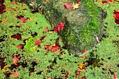 Autumn Leaves Floating in Pond of Algae