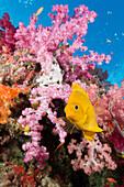 Golden Damsel in Coral Reef, Amblyglyphidodon aureus, Gau, Lomaiviti, Fiji