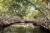 Mangroves, Rhizophora, Los Haitises National Park, Dominican Republic