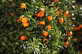 Orange tree, Ronda, Malaga, Andalusia, Spain