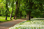 Chestnut alley and wild garlic, Putbus palace garden, Putbus, Ruegen island, Baltic Sea, Mecklenburg-West Pomerania, Germany