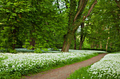 Path through wild garlic in Putbus palace gardens, Putbus, Ruegen island, Baltic Sea, Mecklenburg-West Pomerania, Germany