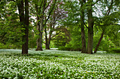 Wild garlic, palace garden, Putbus, Ruegen island, Baltic Sea, Mecklenburg-West Pomerania, Germany, Europe