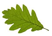 Oak leaf, close-up