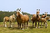 France, Auvergne, Puy de Dome, horses