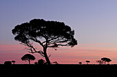 Western Myall (Acacia papyrocarpa), salt arid bush, South Australia, Australia