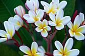 French Polynesia, Southern Pacific Ocean, Archipelago of Society Island,  Islands in the Windward, Bora-Bora, flowers of Frangipanier