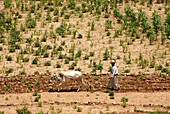 YEMEN, ALKALA, Yemenite farmer
