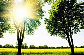 Renewable energies, rape field in the sunlight, Schleswig Holstein, Germany, Europe