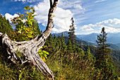 Weathered sycamore maple tree in Blauberge mountains, view onto Achental Valley, Alps, Austria, Europe