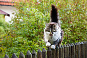 Domestic cat balancing on garden fence, Bavaria, Germany, Europe