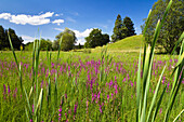 Meadow with purple loosestrife in summer, Upper Bavaria, Bavaria, Germany, Europe