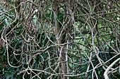 Creeper plant at the garden of Koh Ra eco lodge, Koh Ra, Andaman Sea, Thailand