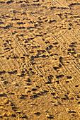 Aerial view of cornfield, damage caused by game or storm, Vulkaneifel, Eifel, Rhineland Palatinate, Germany, Europe