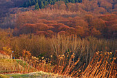 Forest at the Totenkopf, late autumn, Kaiserstuhl, Baden Wuerttemberg, Germany, Europe