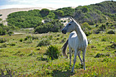 Wild horse in a meadow, Oyster bay lodge, Garden Route, South Africa