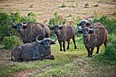 Group of buffalos, Gorah Elephant Camp, Addo Elephant National Park, Garden Route, Eastern Cape, South Africa