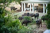 Buffalos at the mainhouse, Gorah Elephant Camp, Addo Elephant National Park, Eastern Cape, South Africa