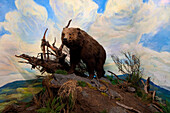 Senckenberg-Museum, Diorama with brown bear, Ursus arctos, mountainous region, typical habitat of the large mammal, Frankfurt am Main, Hesse, Germany, Europe