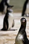 Banded penguin looking at camera