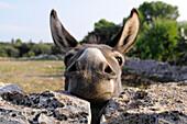 Donkey peering over stone wall