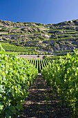 Vineyards in the sunlight, Sion, Valais, Switzerland, Europe